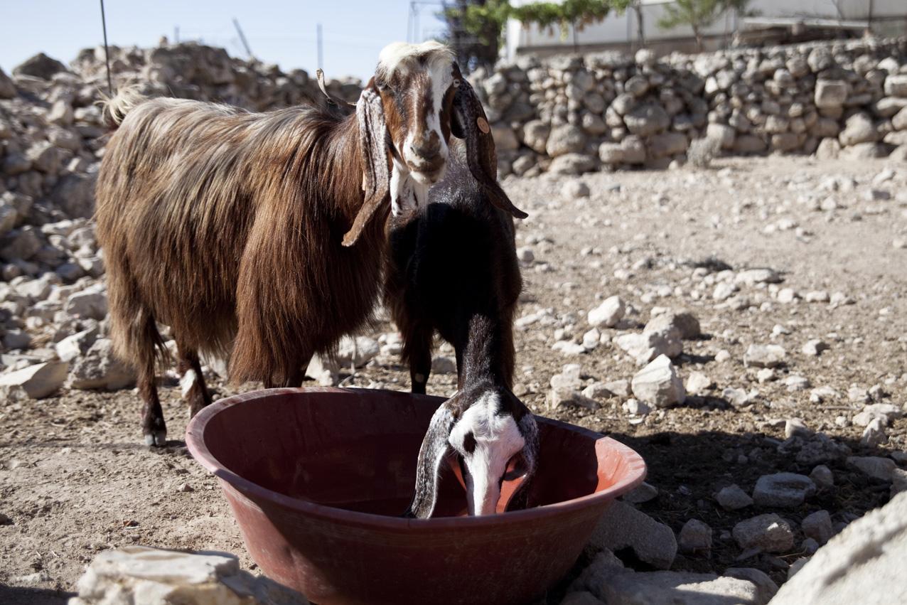 L'élevage de moutons et de chèvres est une activité importante pour le village.