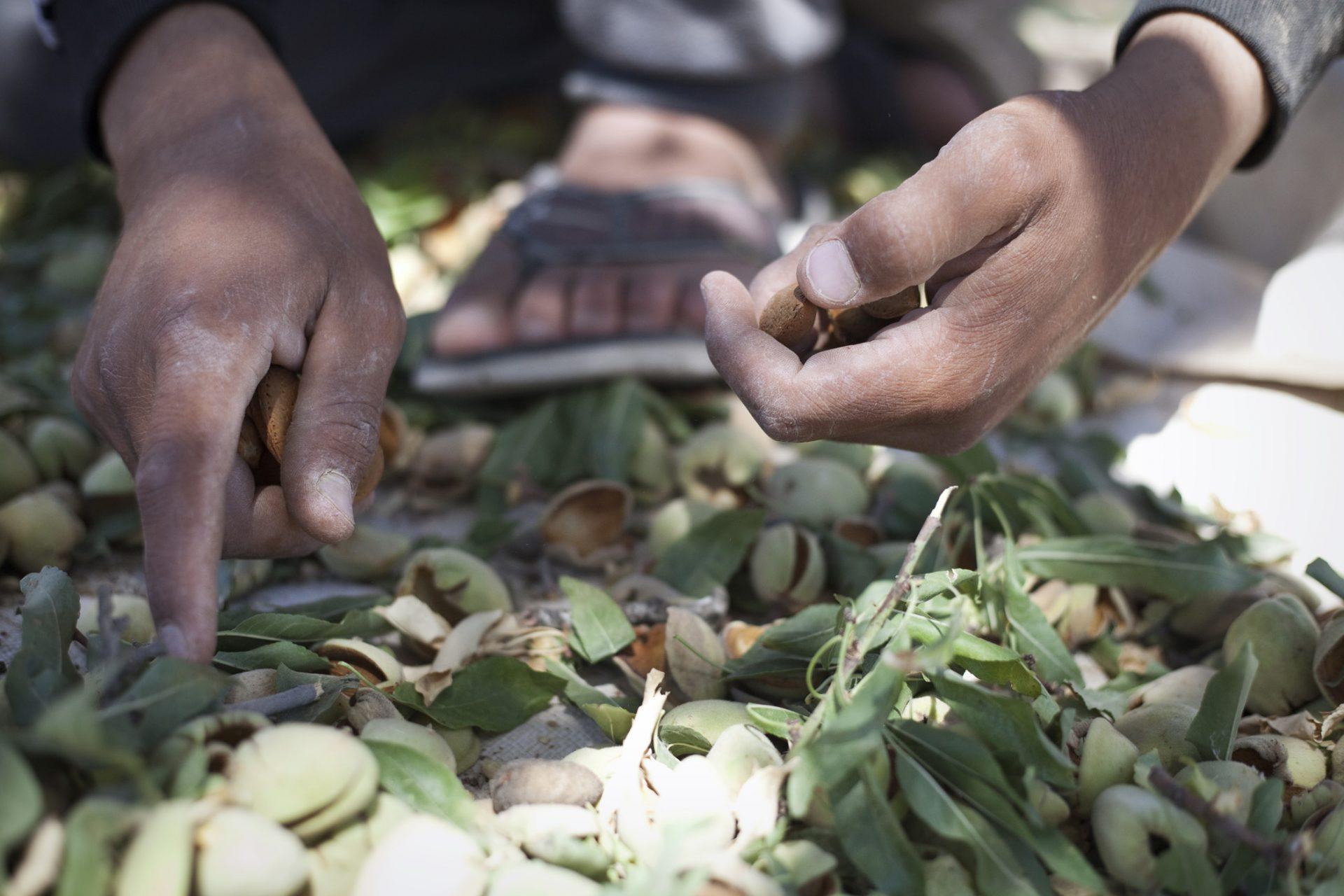 Récolte des amandes par des jeunes du village.